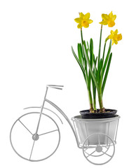 Yellow daffodils flowers in a white bicycle vase.