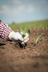 Farmer in field checking on corn