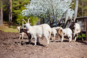 group of goats outdoors