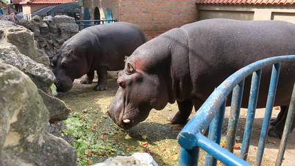 Feeding a hippopotamus at the zoo