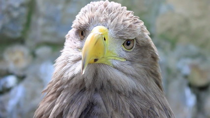 White-tailed Eagle, close up