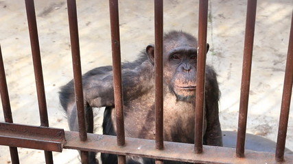 Old and sad monkey in the cage