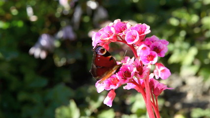 Butterfly on a pink flower in spring