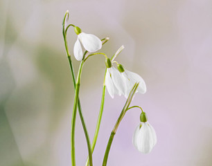 White Galanthus flowers, snowdrop, milk flower, bouquet.