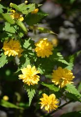The blossoming Kerriya Japanese terry (Kerria japonica)