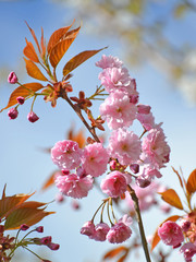 Branch of the blossoming Oriental cherry against the blue sky