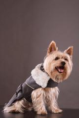 Yorkshire terrier in suit