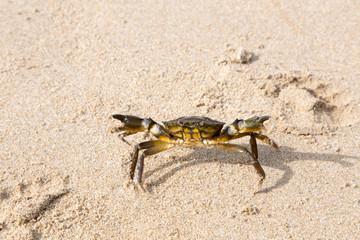 Granchio che cammina sulla sabbia bagnata