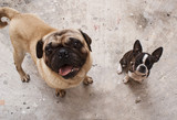Boston Terrier puppy dog and pug