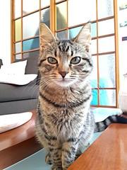 Gattina striata