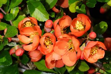 Цветы Айвы