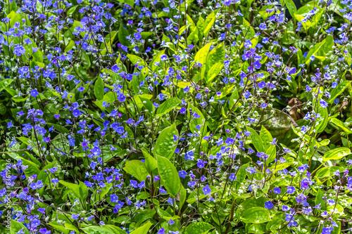 Blue Spring flowers blossom
