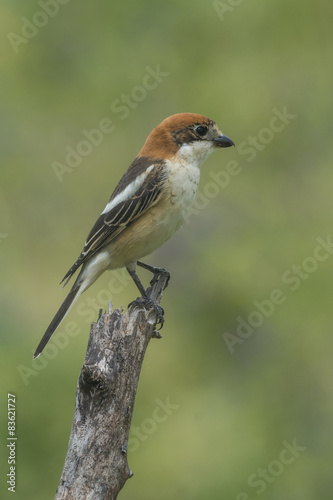 Poster woodchat