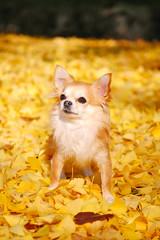 イチョウの落ち葉で黄色く染まったチワワの散歩道