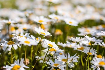ノースポールの花畑。
