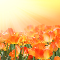 Beautiful orange tulips on a sunny day