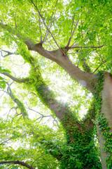 ツタの絡まる巨木