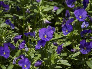 紫色パンジー