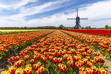 Red yellow tulip bulb farm with a windmill at the country side
