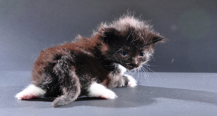 small black and white kitten