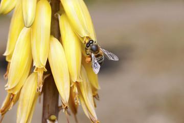 Abeja con polen de aloe