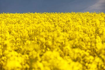 ield of rapeseed - plant for green energy