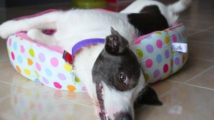 THAILAND, KOH SAMUI, FEBRUARY 2015 - Cute Dog Laying Upside Down
