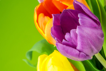 multicolored tulips on green background