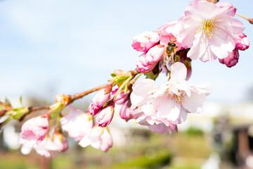 biene auf einem kirschblütenzweig