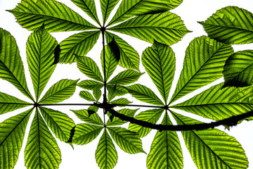 verdi foglie, albero
