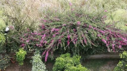bouganville  rampicante giardino