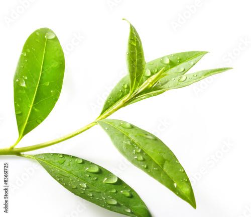 Tea tree (Thea sinensis).