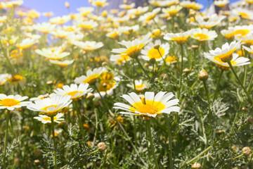Field of white chamomile