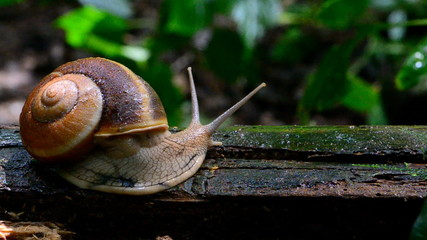 Snail on timber in tropical rain forest.