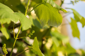 Young grape in spring