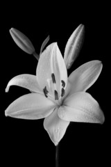 Black and White Lily © Michael Wheeler