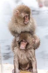 肩車をするお猿の兄弟 brothers carrying on my shoulders