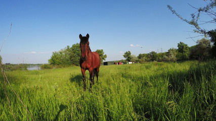Brown horse on meadow