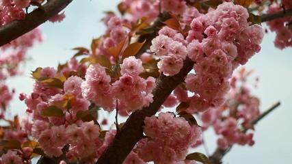 beautiful pink flowers in the garden ukraine