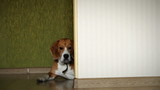 Lying beagle dog on the home laminate floor slider video shoot