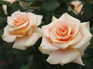 淡いオレンジ色のバラ