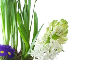 White Hyacinth Flower Bulb Blooming on white isolated