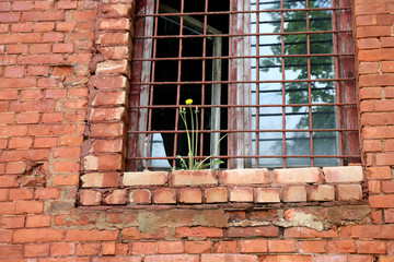 Abandoned building from red brick.  grow yellow dandelion