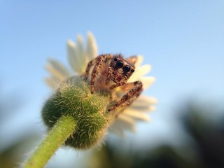jumping spider in grass flower