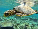 Fototapeta tartaruga marina