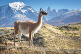 Guanaco in National Park Torres del Paine, Patagonia, Chile - Fine Art prints