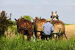 An Amish man guiding three horses as they do the spring plowing.
