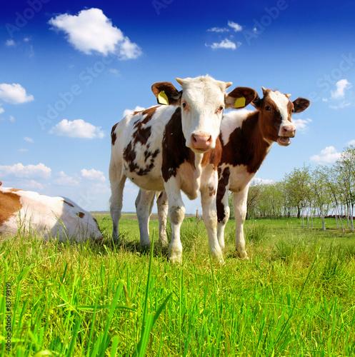 Zdjęcia na płótnie, fototapety na wymiar, obrazy na ścianę : The calf on a summer pasture