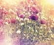 Beautiful poppy flower field