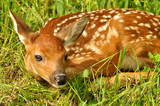 Baby deer with spots lying in green grass.